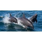Bottlenose-dolphin-Tursiops-truncatus-2-©-Caroline-Weir