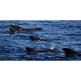 MG-0051-pilot-whales-27022009
